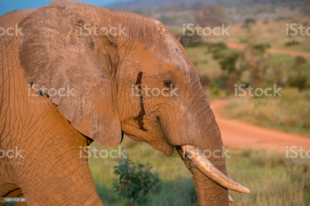 Portrait of the head of an Elephant in the bush in South Africa stock photo