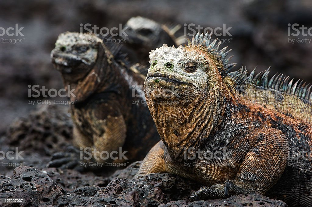Portrait of the marine iguanas with relatives. stock photo