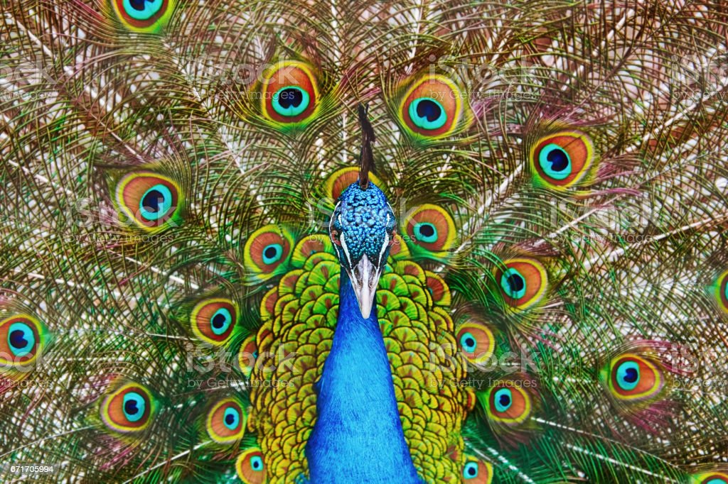 Portrait Of The Peacock – Foto