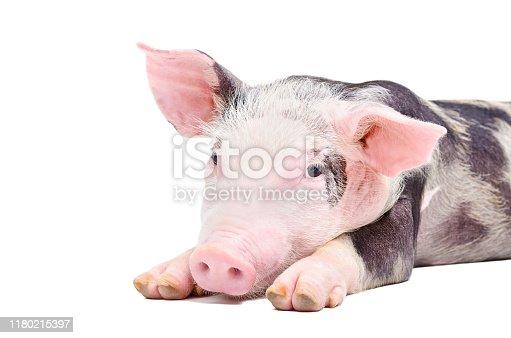 533229488 istock photo Portrait of the pig 1180215397