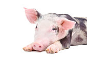 istock Portrait of the pig 1180215397