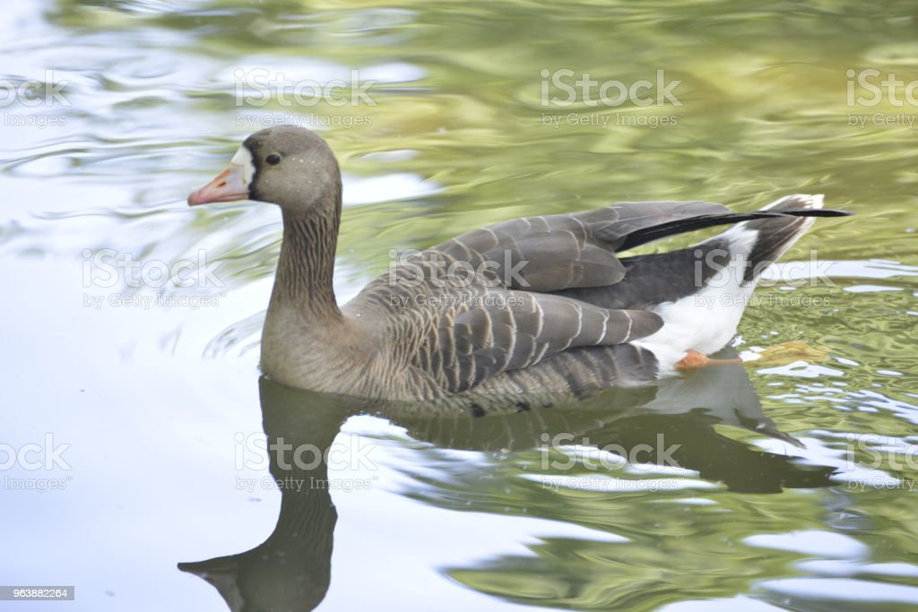 Portrait of the Pink footed goose swims in the fresh water - Royalty-free Animal Stock Photo