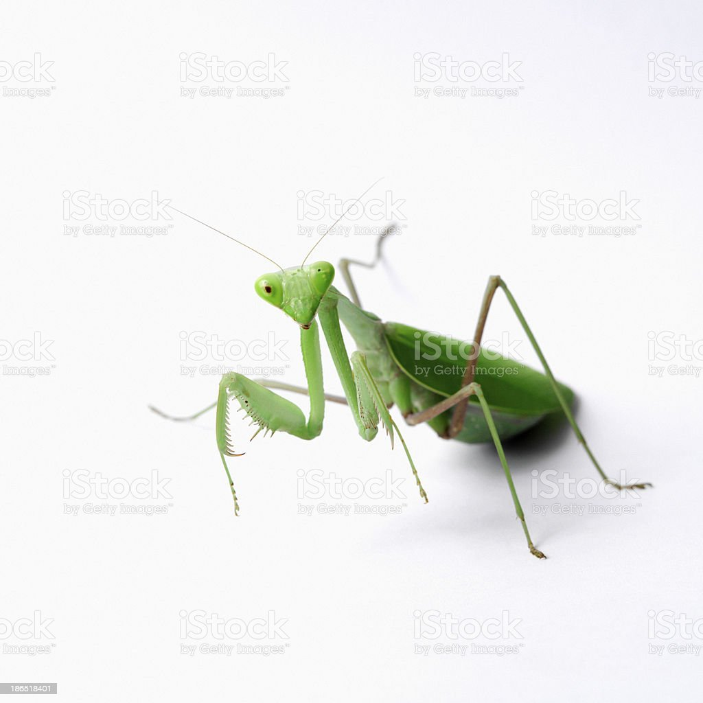 Portrait of the Praying Mantis close-up royalty-free stock photo