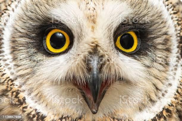 Portrait of the shorteared owl asio flammeus closeup picture id1128847939?b=1&k=6&m=1128847939&s=612x612&h=eqvy3bl7eknhjjohhtjkeycikux8vxctakicfdvf ww=