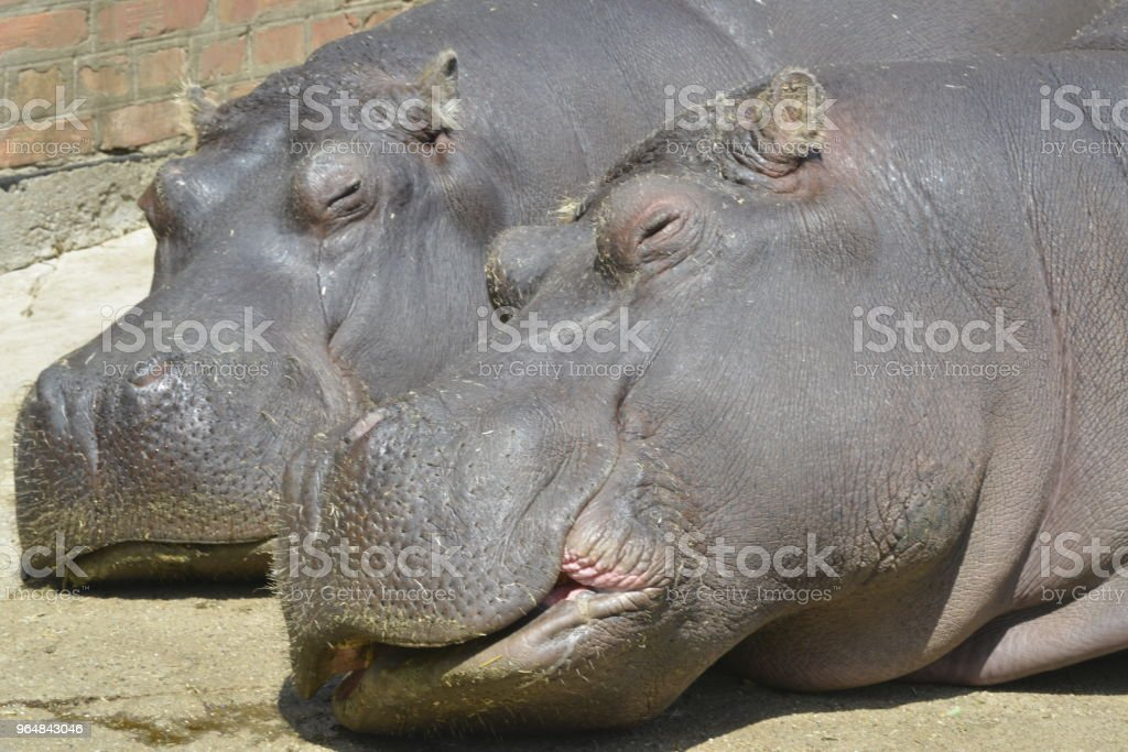 Portrait of the sleepy hippopotamus royalty-free stock photo