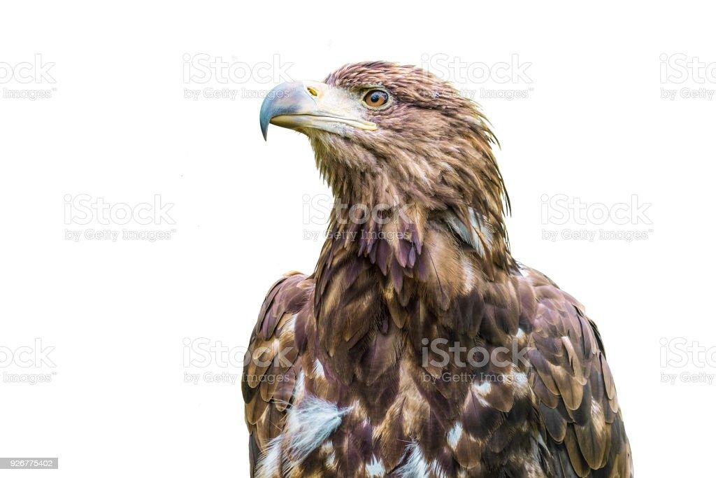 AGUILA AVES t Eagle