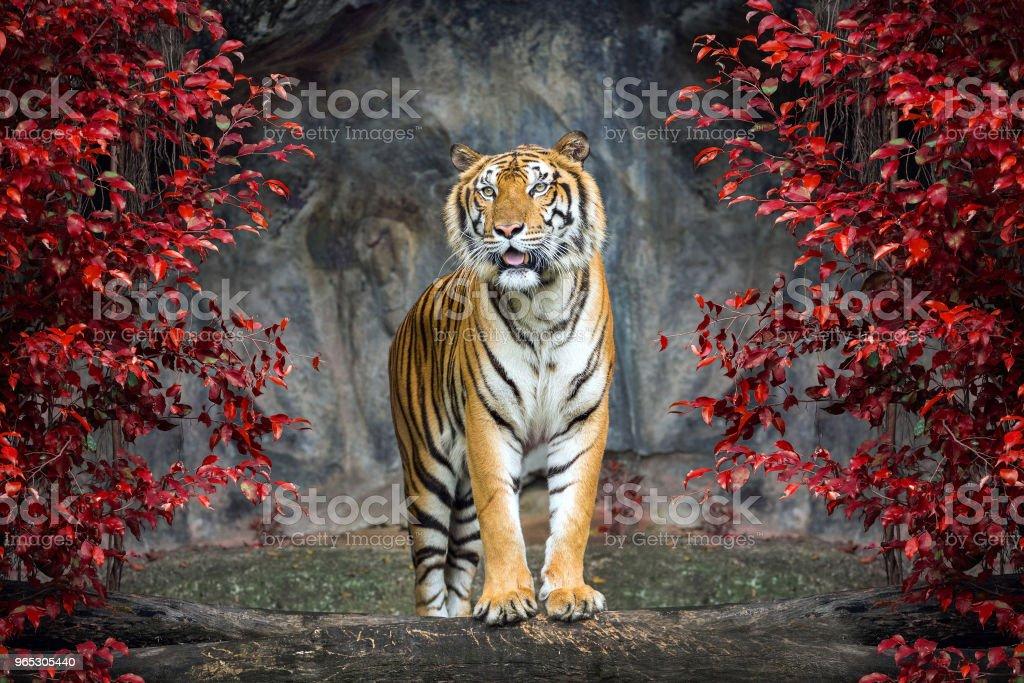 Portrait of the tiger. - Zbiór zdjęć royalty-free (Część ciała zwierzęcia)
