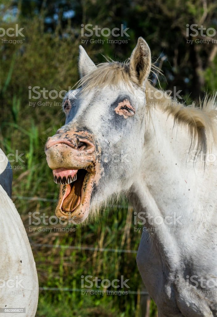 Portrait of the White Camargue Horse. royalty-free stock photo