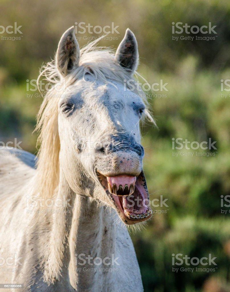 Portrait of the White Camargue Horse. photo libre de droits