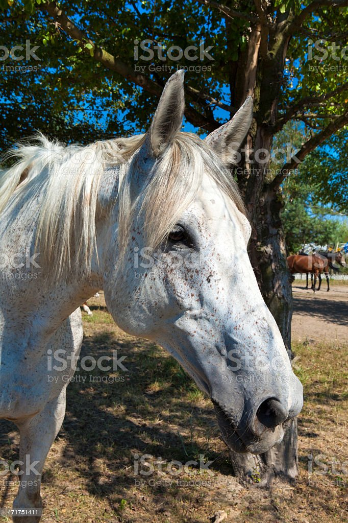 Portrait of the white horse royalty-free stock photo