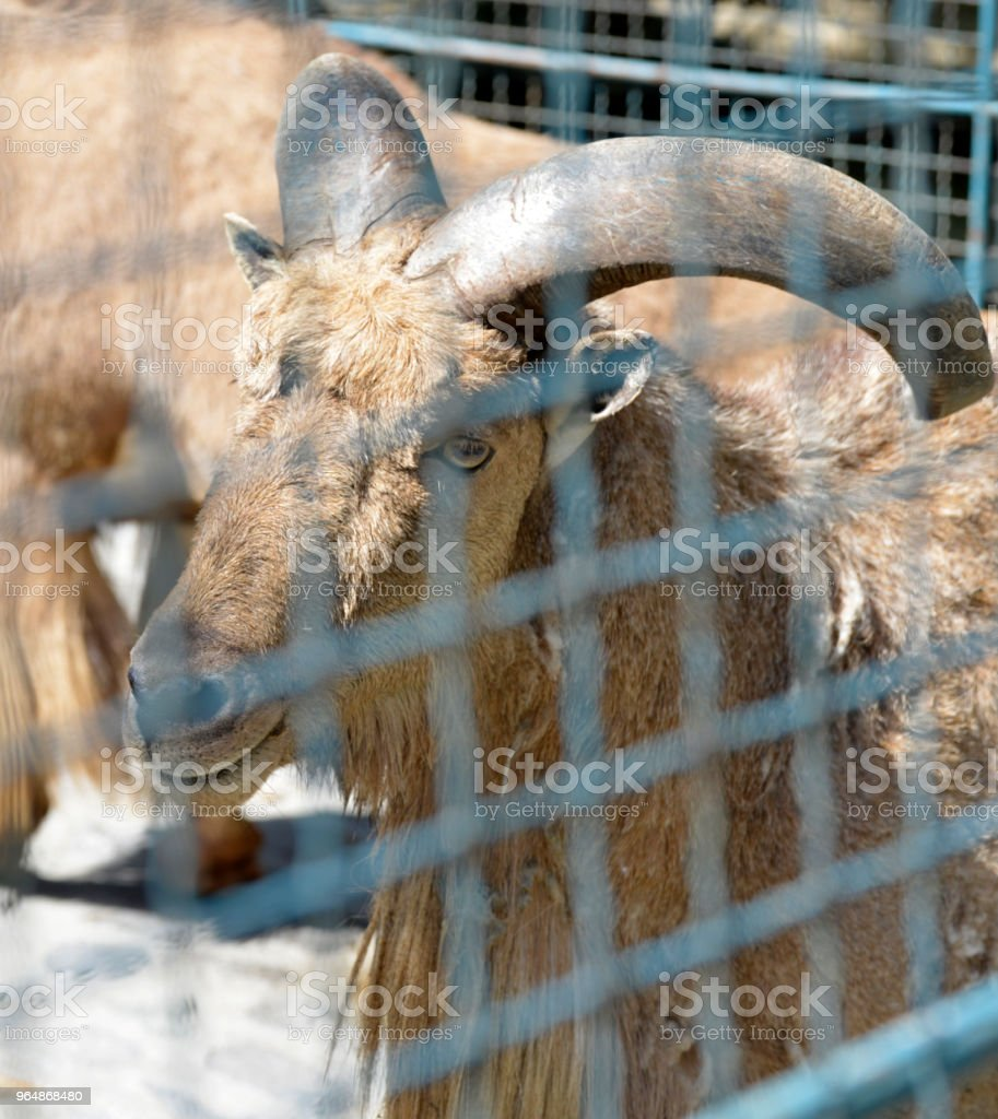 Portrait of the wild ram with a big horns behind the wire fence royalty-free stock photo