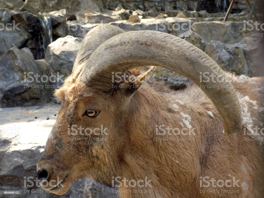 Portrait of the wild ram with a big horns royalty-free stock photo