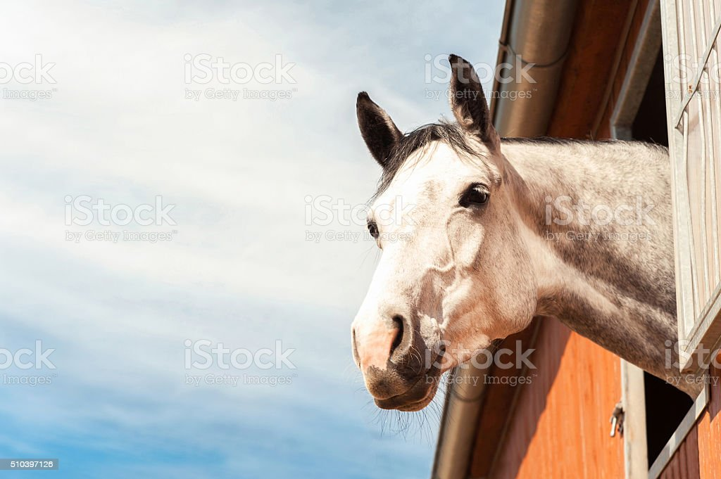 Portrait of thoroughbred gray horse in stable window. Filtered image. stock photo