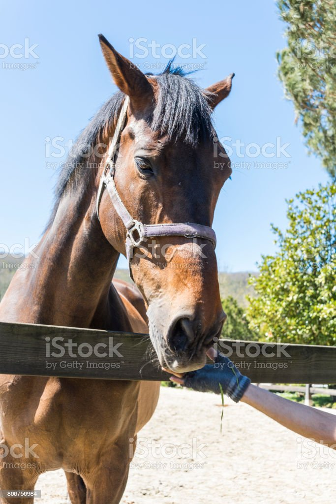 Portrait of Thoroughbred Horse in Manege stock photo