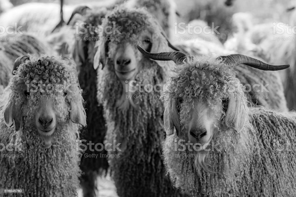 Portrait of three Angora Goats with whimsical facial expressions, b&w stock photo