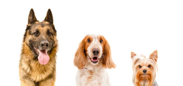 Portrait of three dogs closeup picture id1011728914?b=1&k=6&m=1011728914&s=612x612&w=0&h=0urncjxvtfysq e8xoto1zokxc3yevmo dfqhzg8rnq=