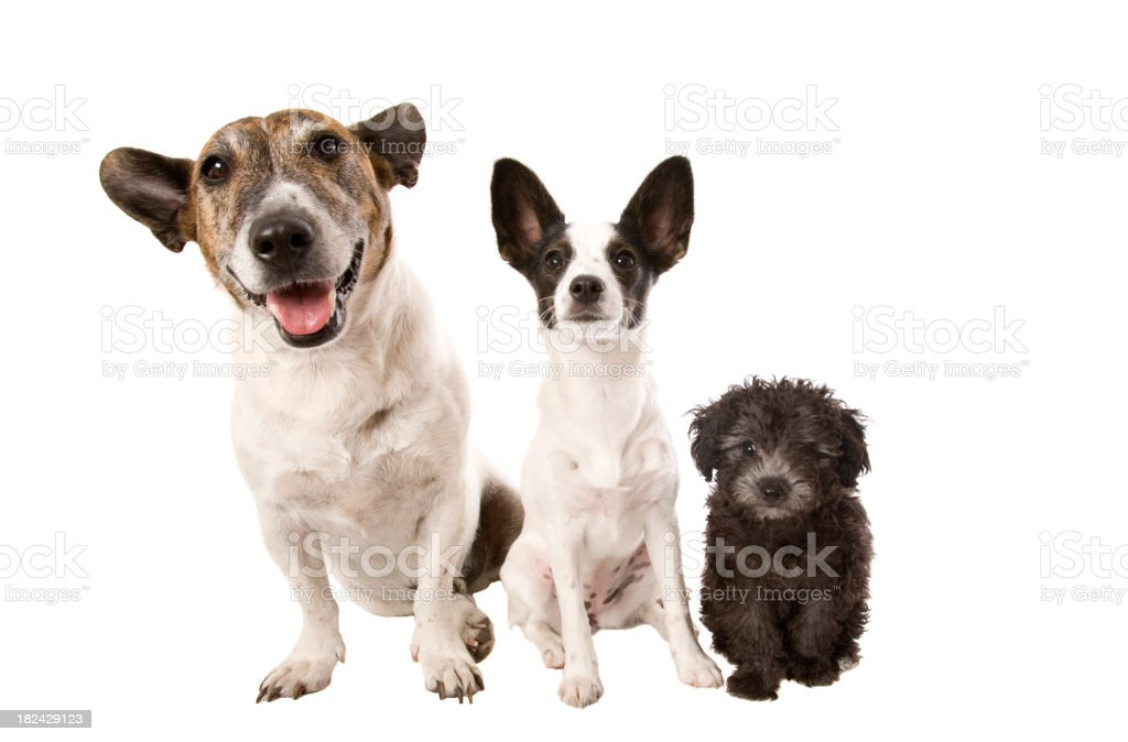 Portrait of three dogs isolated on white royalty-free stock photo