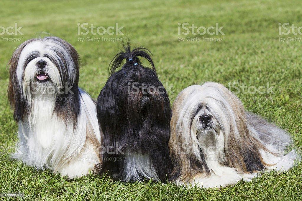 Portrait of three purebred Lhasa Apso  on green grass stock photo