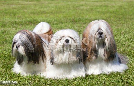 Portrait of three purebred Lhasa Apso  on green grass
