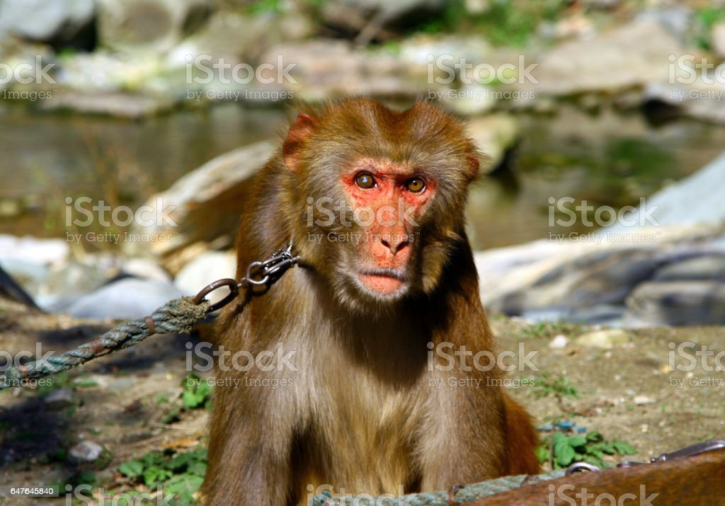 Portrait of Tibetan macaque (Macaca thibetana) on a leash, Monkey Forest Sanctuary in Wudang shan, China stock photo