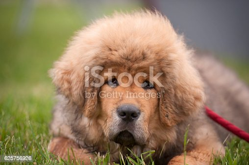 Portrait of Tibetan Mastiff puppy. He is cute and very tousled little dog.