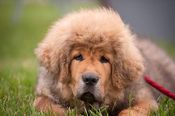 Portrait of Tibetan Mastiff puppy stock photo