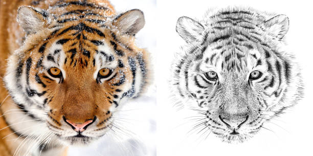 Portrait of tiger before and after drawn by hand in pencil picture id812647658?b=1&k=6&m=812647658&s=612x612&w=0&h=82viu606qge8vizmlqqhf8bdrq3vao0iv4bqsgdm f0=