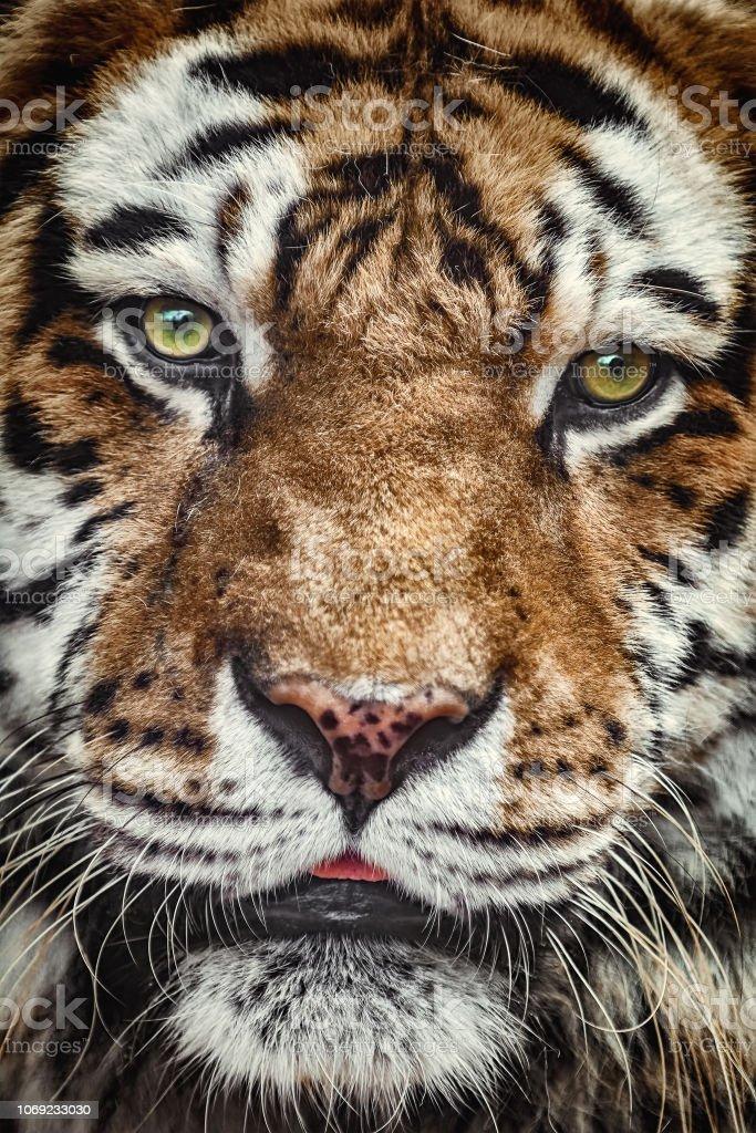Portrait of Tiger stock photo