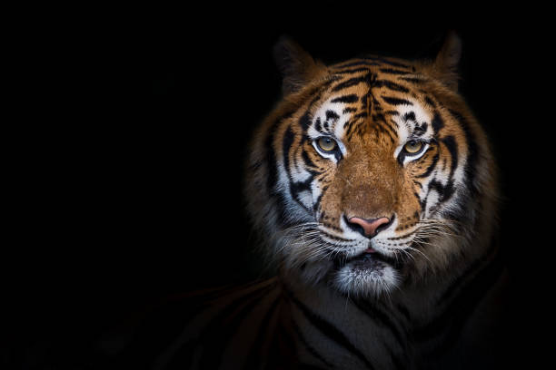 portrait of tiger. - big cat stock pictures, royalty-free photos & images
