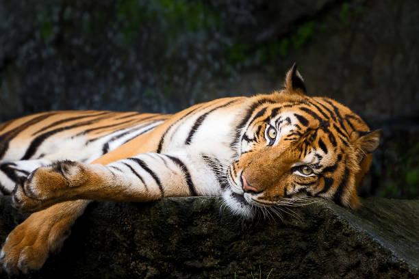 Portrait of tiger. stock photo