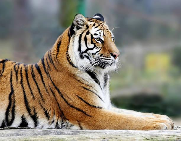 Portrait of tiger picture id94323564?b=1&k=6&m=94323564&s=612x612&w=0&h=vturpgatbbdee 06qxorcia qwd y1tkrkcky0kes8m=