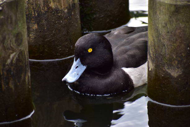 Portrait of tufted duck stock photo