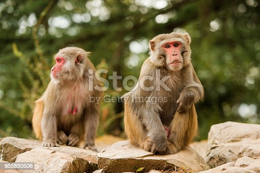 Portrait of two beautiful macaque monkeys in the middle of a green forest in the city of Dharamshala, India