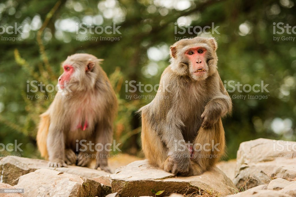 Portrait of two beautiful macaque monkeys in the middle of a green forest in the city of Dharamshala, India stock photo