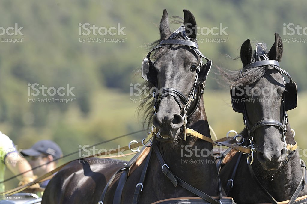 Portrait of two carriage horses royalty-free stock photo