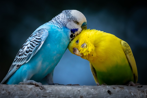 Portrait of two cute cuddling budgies perched on branch with blue background as symbol of love and affection