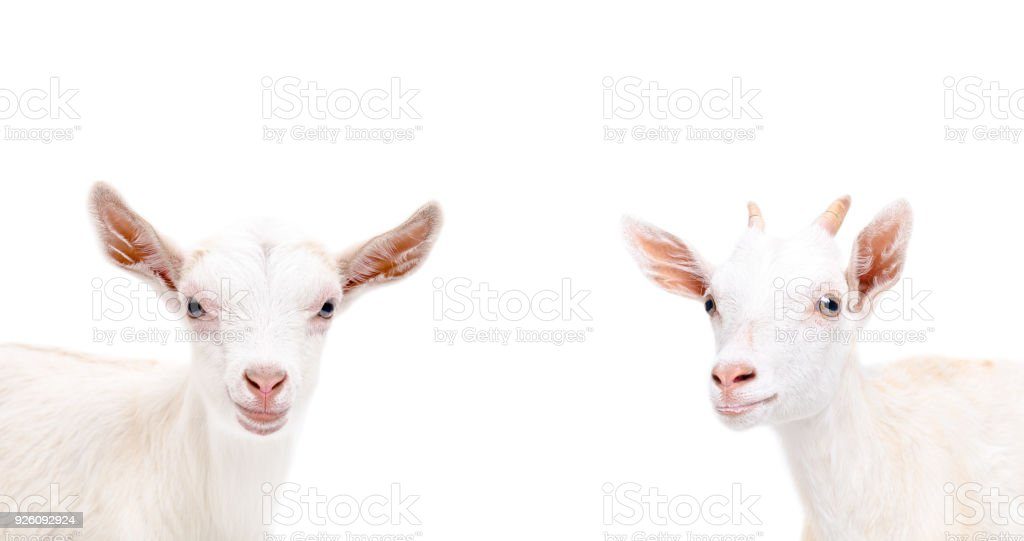 Portrait of two cute goat stock photo