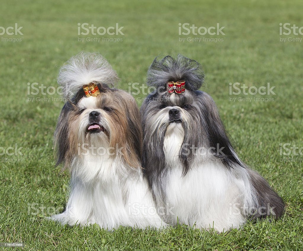 Portrait of two dogs breed Shih Tzu stock photo