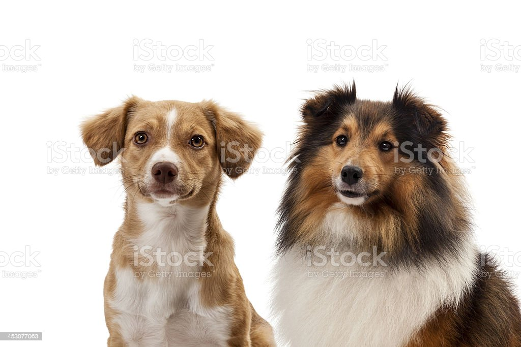 Portrait of two dogs royalty-free stock photo