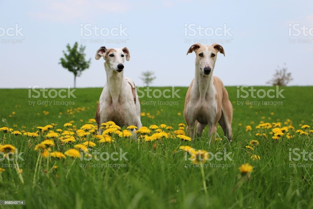 portrait of two galgos in the garden stock photo