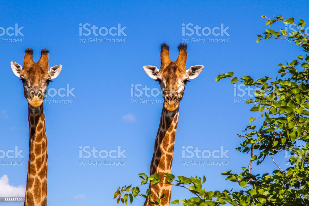 portrait of two giraffes in blue background in Kruger park, South Africa stock photo
