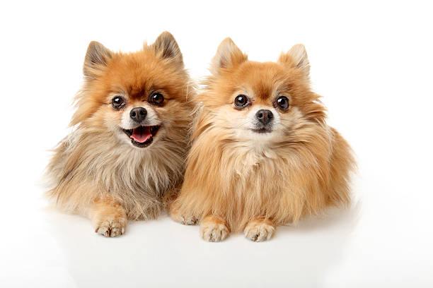 porträt von zwei kleine hunde - zwergspitz stock-fotos und bilder