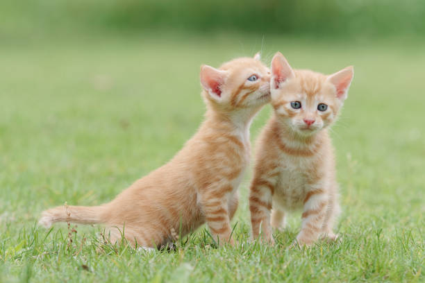 Portrait of two lovely ginger tabby cats standing on green grass field, one is looking at camera and another is stretching its neck and looking like whispering for secret,  funny pet concept. stock photo
