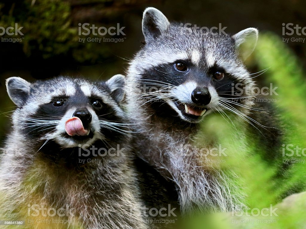 Portrait of two North American raccoons photo libre de droits