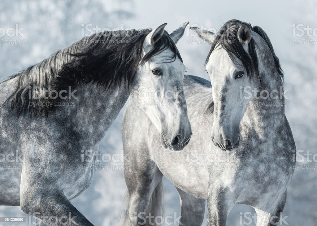 Portrait of two spanish grey stallions in winter forest. stock photo