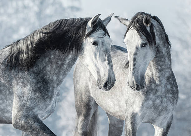 Portrait of two spanish grey stallions in winter forest. – Foto
