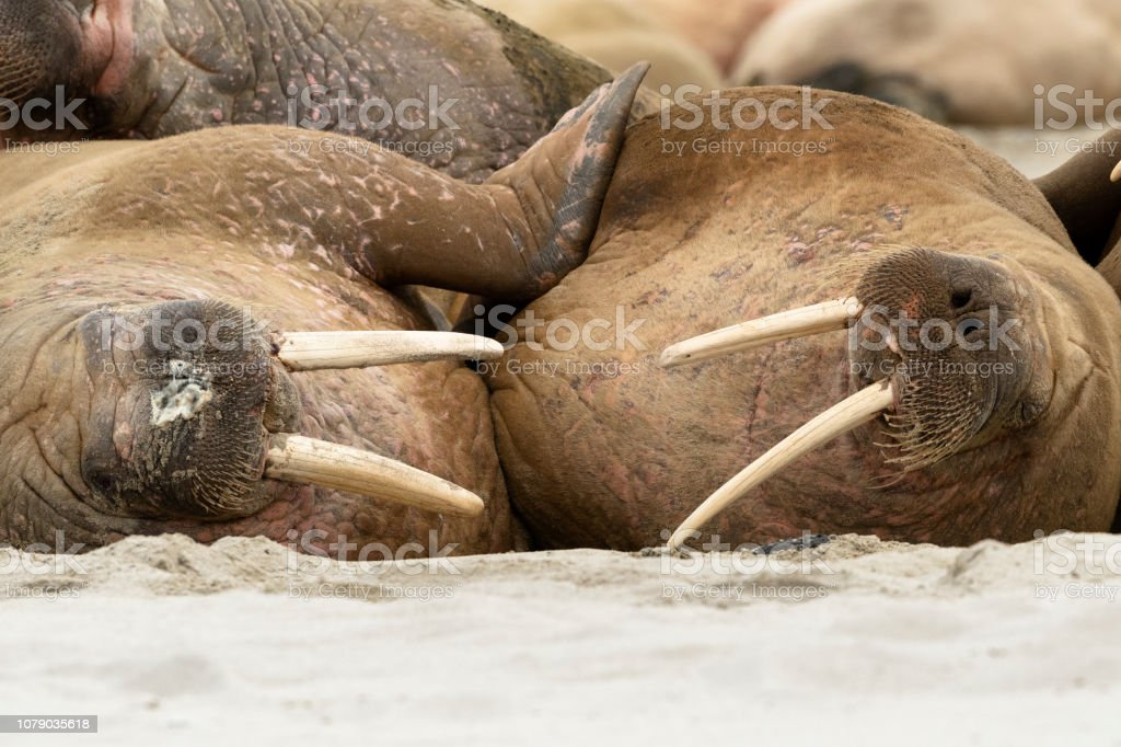 Portrait Of Two Walruses Lying On The Shore Svalbard Islands