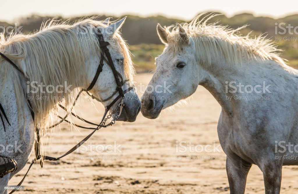 Portrait of two White Camargue horses. royalty-free stock photo
