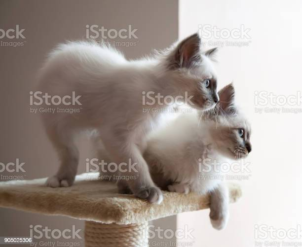 Portrait of two white long hair birman cats with blue eyes picture id905025306?b=1&k=6&m=905025306&s=612x612&h=jo 7glhgo9i1iwsizazvdxhsj4kfm9ke5snhkxlaoo8=