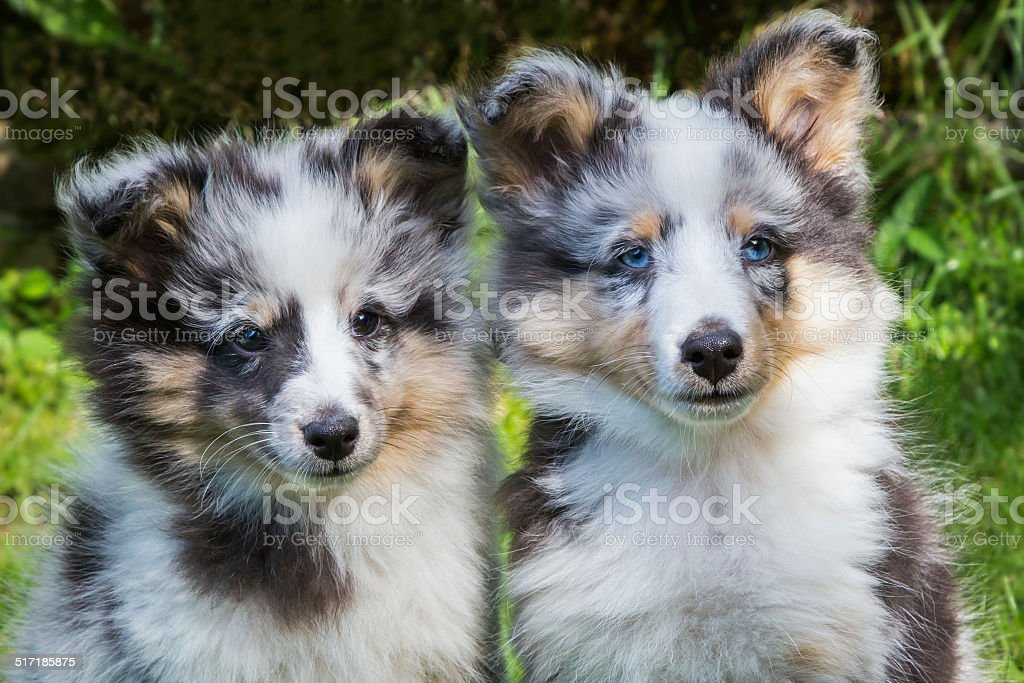 Portrait of two young sheltie dogs stock photo